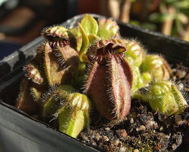 A close up of some Cephalotus follicularis pitcher plants in a pot