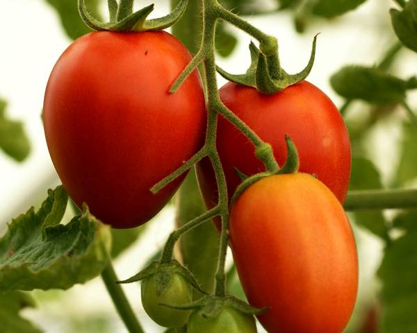 A picture of a Tomato
