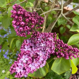 Common Lilac Tree | Syringa Vulgaris