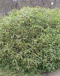 A photo of Dwarf Bamboo