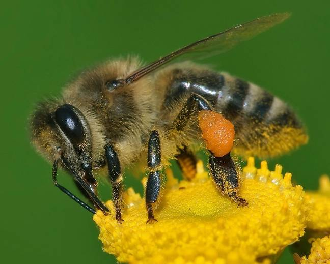 A close up of a Apis mellifera honey bee on a flower