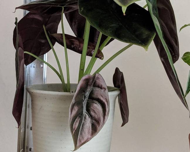A pot filled with purple green Alocasia cuprea leaves