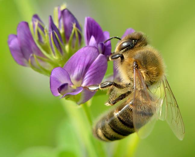 A close up of Apis mellifera western honey bee