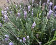 A photo of French Lavender