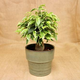 Variegated Ficus Benjamina, Weeping Fig Houseplant - 30cm tall 12cm pot