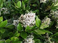 A close up of a green Ligustrum lucidum plant with white flowers