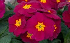 A photo of Polyanthus 'Crescendo'