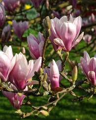 A photo of Saucer magnolia
