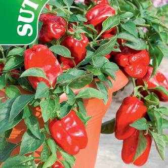 Suttons Sweet Pepper Seeds F1 Redskin