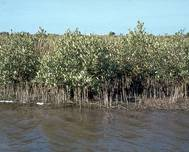 A photo of Mangrove