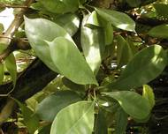 A photo of Ficus cyathistipula
