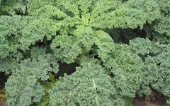 A photo of Kale