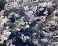 A photo of Californian Lilac