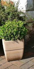 A photo of Buxus