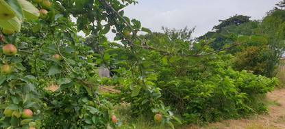 Apples growing in an orchard at The Forest Garden