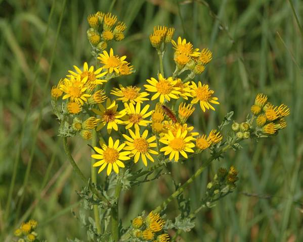 A picture of a Common Ragwort