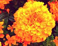 A photo of African Marigold