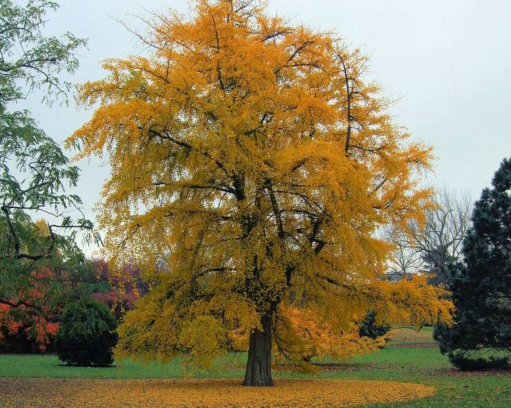 A large Maidenhair Tree at Kew Gardens