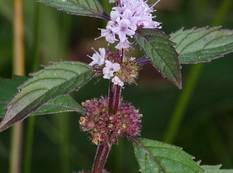A close up of a Mentha canadensis flower
