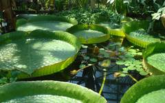 A photo of Santa Cruz Water Lily