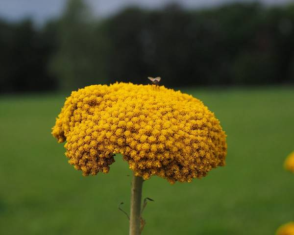 A picture of a Yarrow