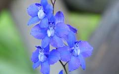 A photo of Larkspur
