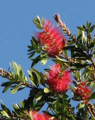 A photo of Bottlebrush Tree