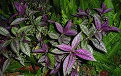 A photo of Persian Shield