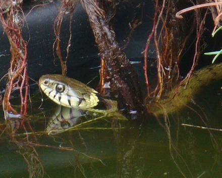 A grass snake in water