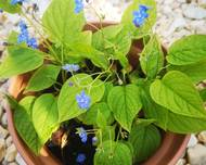 A photo of Omphalodes
