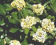 A photo of Japanese Pittosporum