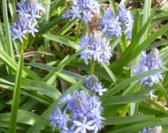A photo of Italian Bluebell