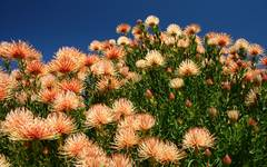 A photo of Leucospermum