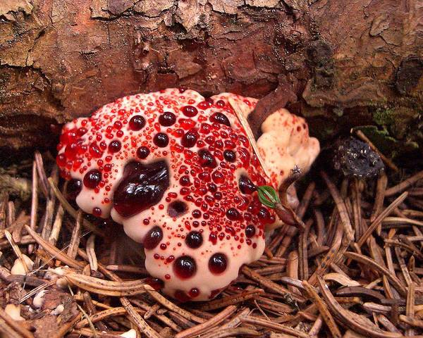 A picture of a Bleeding Tooth Mushroom