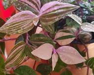 A photo of Tradescantia 'Tricolor'