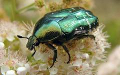 A photo of Rose Chafer