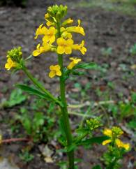 A photo of Land Cress