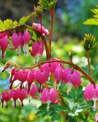 A photo of Bleeding Heart