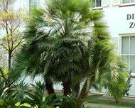 A photo of European Fan Palm