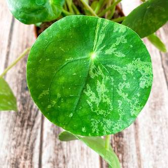 Pilea peperomioides 'Mojito' cutting - unrooted (delivery included)