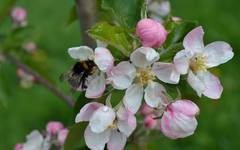 Winter - Time to Plant Apple Trees