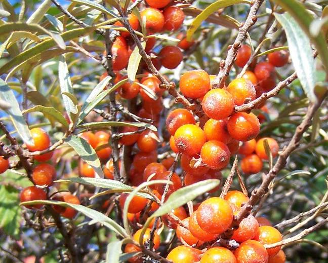 Hippophae rhamnoides fruits