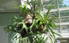 A photo of Common Staghorn Fern