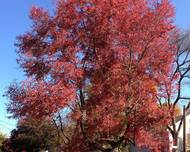 2014-10-30 11 09 40 Red Maple during autumn on Lower Ferry Road in Ewing, New Jersey