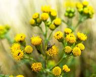 A photo of Ragwort