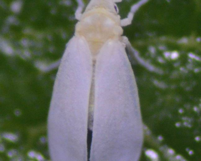 A close up of Trialeurodes vaporariorum glasshouse whitefly on a leaf