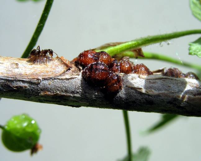 A close up of some soft scale insects Coccidae attached to some bark with ant