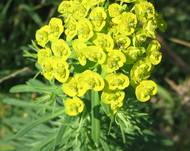 Euphorbia cyparissias 02 bgiu