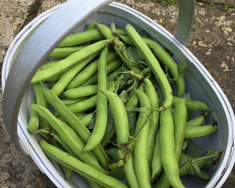 A garden trug of broad beans