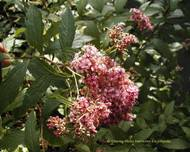 A photo of Spiraea